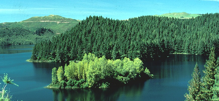 Pine forest along a lake