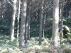 Radiata pine stand